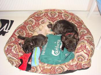 Thorndahl Dogs Bijou Nior